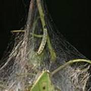 Bird-cherry Ermine Caterpillars Poster