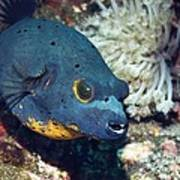 Blackspotted Puffer Poster
