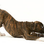 Brindle Boxer Pup Poster