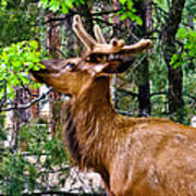 Browsing Elk In The Grand Canyon Poster