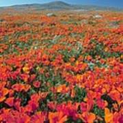 Californian Poppies (eschscholzia) Poster