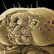 Caterpillar Head, Sem Poster