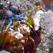 Close-up View Of A Mantis Shrimp, Papua Poster