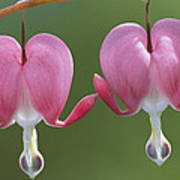 Close View Of Dutchmans Breeches, Or Poster