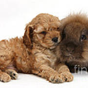 Cockerpoo Puppy And Rabbit Poster