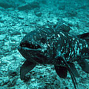 Coelacanth Fish Poster