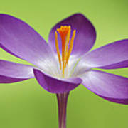 Dutch Crocus Crocus Vernus Flower Poster