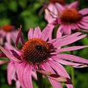 Eastern Purple Coneflower Poster