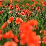 Field Of Poppies. Poster
