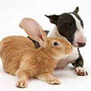Flemish Giant Rabbit And Miniature Bull Poster