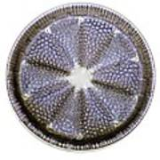 Fossil Diatom, Light Micrograph Poster