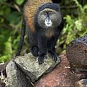 Golden Monkey Poster