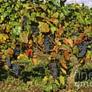Grapes Growing On Vine Poster