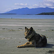 Gray Wolf On Beach Poster