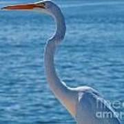 Great Egret  White Heron Poster