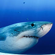 Great White Shark, Guadalupe Island Poster