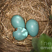 Hatching Robin Nestlings Poster