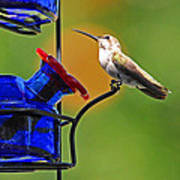 Hummer At The Feeder Poster