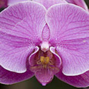 Hybrid Orchids At The Atlanta Botanical Poster