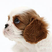King Charles Spaniel Puppy Poster