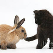 Kitten And Young Rabbit Poster