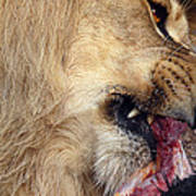 Lion Feeding Poster