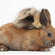 Long-haired Guinea Pig And Young Rabbit Poster