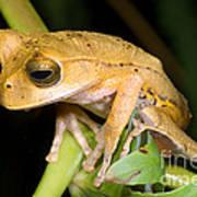 Marsupial Frog Poster