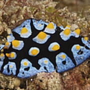 Nudibranch Feeding On Algae, Papua New Poster