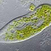 Paramecium Protozoan,light Micrograph Poster