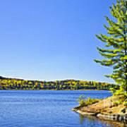 Pine Tree At Lake Shore Poster