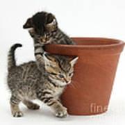 Playful Kittens Poster