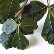 Poison Oak Branch Poster