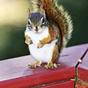 Red Squirrel On Railing Poster