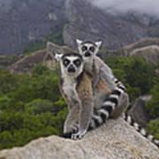 Ring-tailed Lemur Lemur Catta Mother Poster