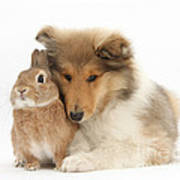 Rough Collie Pup With Rabbit Poster