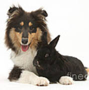 Rough Collie With Black Rabbit Poster