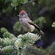 Rubycrowned Kinglet Poster
