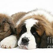 Saint Bernard Puppy With Rabbit Poster