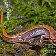 Seepage Salamander Poster