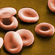 Sem Of Red Blood Cells Poster