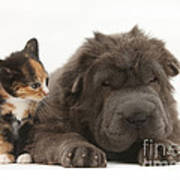 Shar Pei Puppy And Tortoiseshell Kitten Poster
