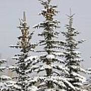 Snow Covered Evergreen Trees Calgary Poster