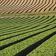 Spinach Crop Poster