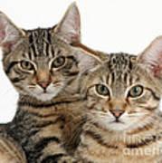 Tabby Kittens Poster