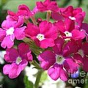 Verbena From The Ideal Florist Mix Poster