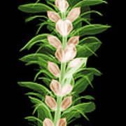 X-ray Of An Acanthus Flower Poster
