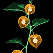 X-ray Of Chinese Lantern Plant Poster