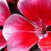 Zonal Geranium Named Candy Fantasy Kiss Poster