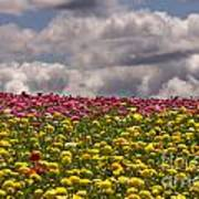 Flower Fields Poster